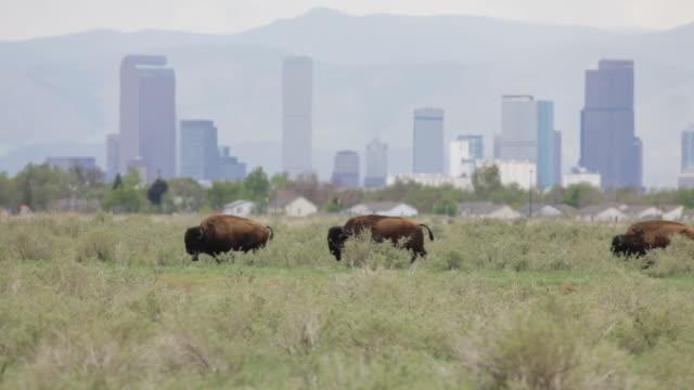 hd video bison and downtown denver skyscrapers - klippiga bergen bildbanksvideor och videomaterial från bakom kulisserna