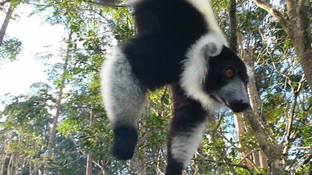 hd video black and white ruffed lemur dangles upside-down madagascar - lemur bildbanksvideor och videomaterial från bakom kulisserna
