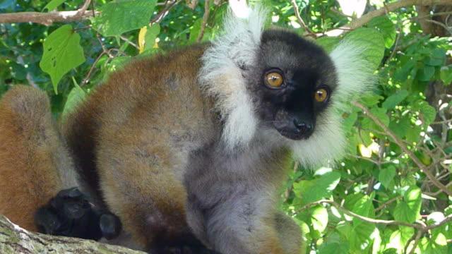 hd video black white ruffed lemur nosy tanikely island madagascar - lemur bildbanksvideor och videomaterial från bakom kulisserna