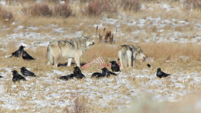 HD video Blacktail Pack Yellowstone NP Wyoming As ravens linger nearby and a freezing December winter wind whips, a pair of the Blacktail Pack feed on a carcass in the snow on the Blacktail Plateau in the Yellowstone National Park in Wyoming. Only four members of the pack remain after December 12, 2012. animal skeleton stock videos & royalty-free footage