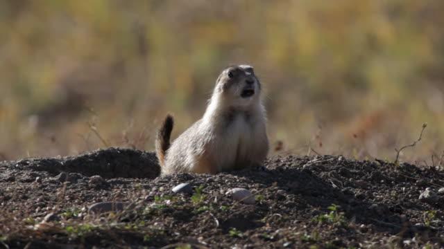 hd video black-tailed prairie dog barking, colorado - kemirgen stok videoları ve detay görüntü çekimi