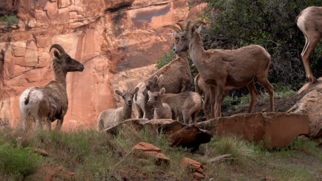 Video Clip Of Bighorn Sheep, Ewes And Their Young Lambs On A Mountainside Grazing In The Colorado National Monument