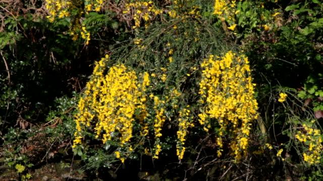 HD video clips of yellow flowers Scotch broom Cytisus scoparius video