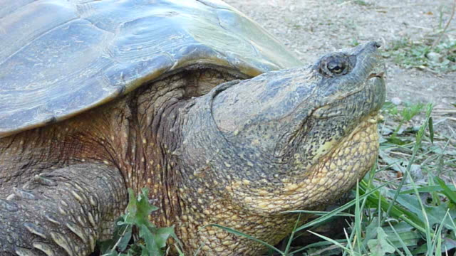 HD video close up snapping turtle Denver Colorado  snapping turtle stock videos & royalty-free footage