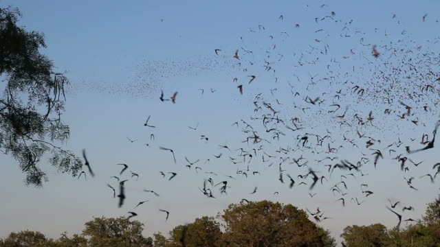 HD video clouds of Mexican free-tailed bats Texas video