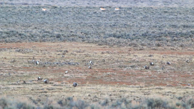 HD video Colorado greater sage grouse display on lek video