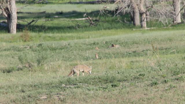 hd video coyote hunting bear creek lake state park colorado - hunddjur bildbanksvideor och videomaterial från bakom kulisserna