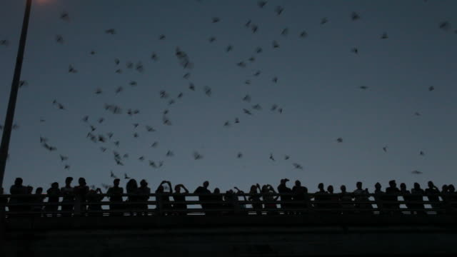 HD video Crowds watch Mexican free-tailed bats Texas video