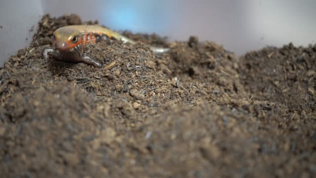 Video feeding a red lizard Video to feed the fire skink with tweezers skink stock videos & royalty-free footage
