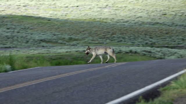 HD Video Female wolf Lamar Canyon Pack Yellowstone NP Wyoming video