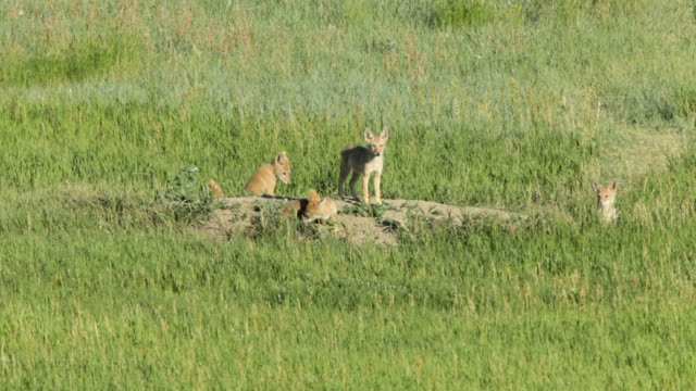 Five coyote pups hang out, play with a flip-flop, wrestle and snack at their den on the prairie of Bear Creek Lake State Park in Colorado.