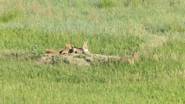 vídeos de stock e filmes b-roll de vídeo em hd cinco brincalhão coyote crias em bear creek colorado - coiote