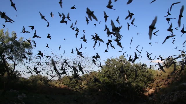 HD video flying Mexican free-tailed bats Texas video