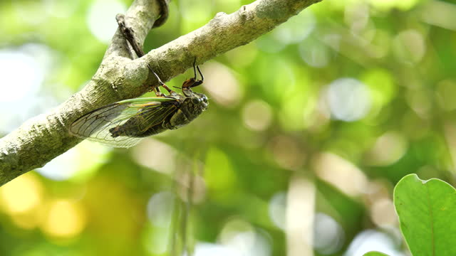 """Video footage of the cicadas buzzing hard. It is a variety called """"Kuma Zemi"""". Singing loudly to call the female. Audio is recorded with a gun microphone. arthropod stock videos & royalty-free footage"""