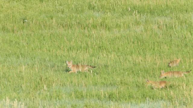 vídeos de stock e filmes b-roll de vídeo em hd quatro coyotes caça bear creek lago parque colorado - coiote