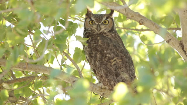 HD Video Great Horned Owl in cottonwood tree Arizona A great horned owl perches, looks around and blinks his eyes in a cottonwood just outside Grand Canyon National Park in Arizona. bird of prey stock videos & royalty-free footage