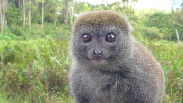 hd video grey bamboo lemur looks around quickly madagascar - lemur bildbanksvideor och videomaterial från bakom kulisserna