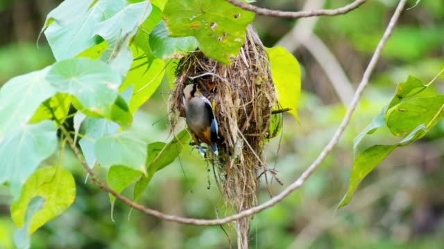 Video hd format, Beautiful Silver-breasted broadbill (Serilophus lunatus) is feeding its prey to its nest.