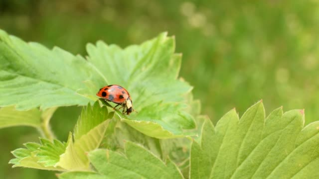 Video HD with ladybird on green strawberry leaf
