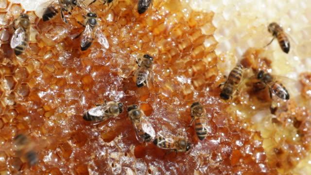HD Video Honeybee colony on comb with honey Denver Colorado