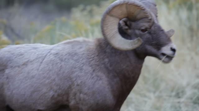 HD Video Large horned bighorn sheep ram, Colorado video