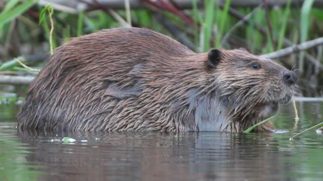 Vidéo HD grand wild Colorado beaver se restaurer - Vidéo
