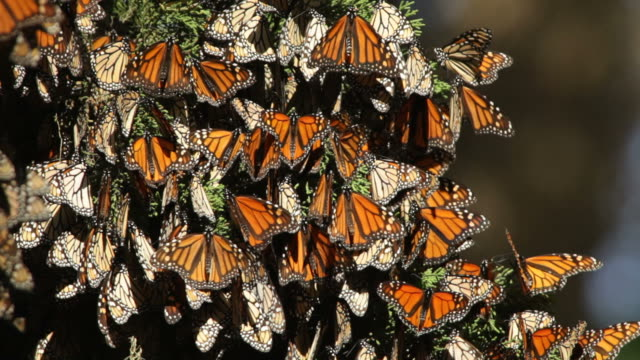 hd video migrating monarch butterflies in monterey bay california - butterfly stock videos and b-roll footage
