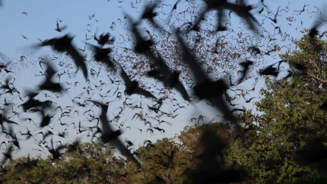 HD video millions of Mexican free-tailed bats Texas Mexican free-tailed bats fly outside the Eckert James River Bat Cave Preserve for a night of consuming insects in the Texas Hill Country west of Austin. Open to the public mid May through October the Nature Conservancy's bat cave is one of the top ten bat maternity sites in Texas where more than one million bats emerge during summer evenings.  mammal stock videos & royalty-free footage