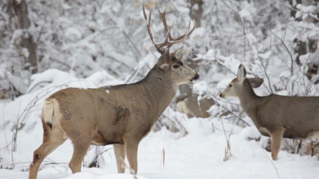 wideo hd mulak stado w zimie śnieg, kolorado - jelonek filmów i materiałów b-roll