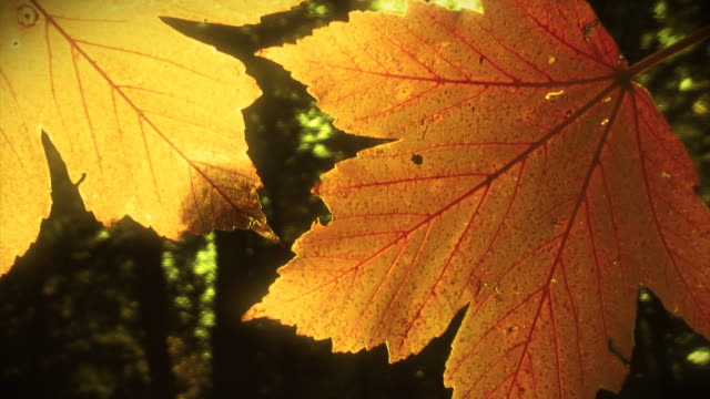 Video nature background  - sunshine and autumn leaves  LOOP video