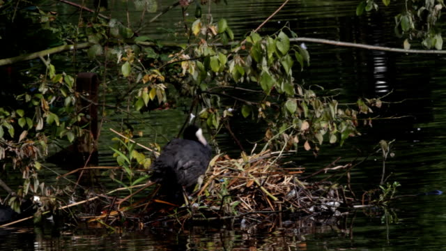 Mother coot Fulica atra preening at the nest HD video video
