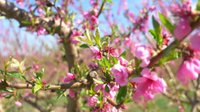 Video of blossoming peach tree in spring