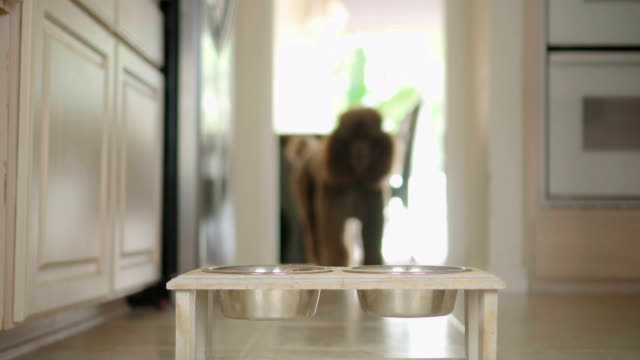 vídeos de stock e filmes b-roll de 4k video of brown standard poodle eating from a bowl in the kitchen - dog food