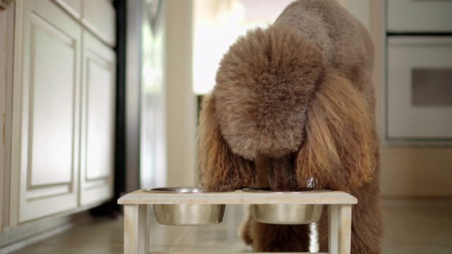 vídeos de stock e filmes b-roll de 4k video of brown standard poodle eating from his bowl in the kitchen - dog food
