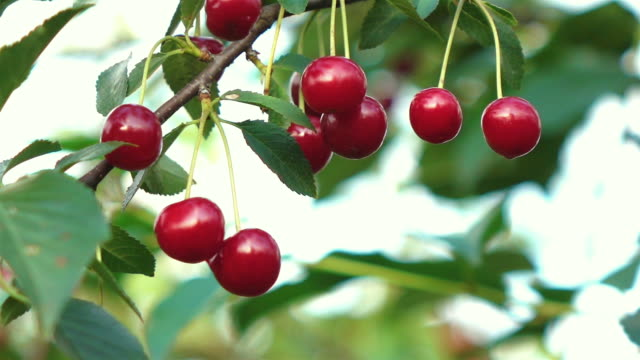 Video of cherry tree in real slow motion High quality video cherry tree in real 1080p slow motion 250fps cherry stock videos & royalty-free footage