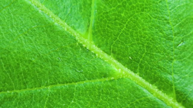 4K Video Of Close-up of water drop on green leaf