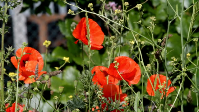 Flowers red and  yellow with roadside traffic HD video video