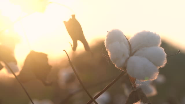4K Video Of Cotton Bolls In Cotton Field During Sunset video