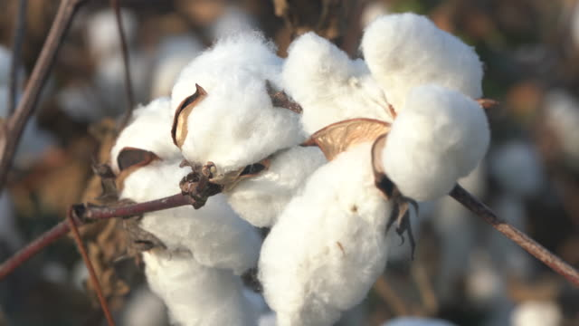 4K Video Of Cotton Bolls In Cultivated Field video