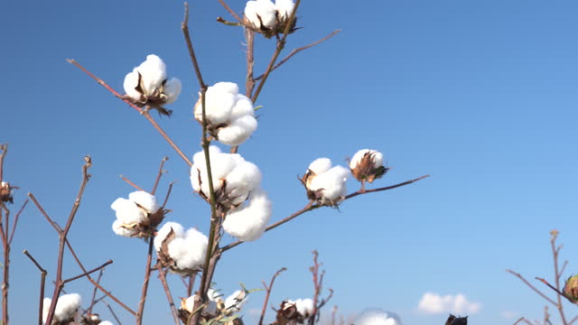 4K Video Of Cotton Bolls On Clear Blue Sky video