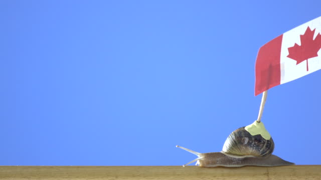 UHD Video Of Garden Snail Carrying Canadian Flag
