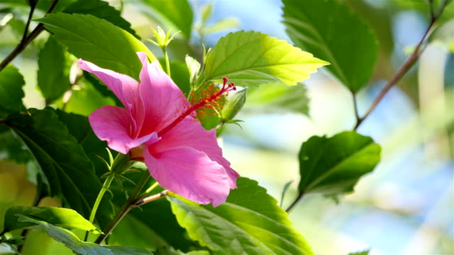 Video of hibiscus flower in 4K video