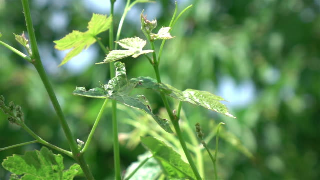 Video of hop plant in the garden in real slow motion video