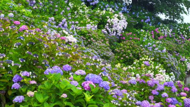 video von hortensien im regen - hortensie stock-videos und b-roll-filmmaterial