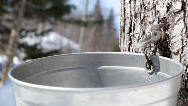 4k video von ahornsirup sap dripping - ahorn stock-videos und b-roll-filmmaterial