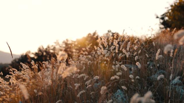 Video of meadow grass flowers