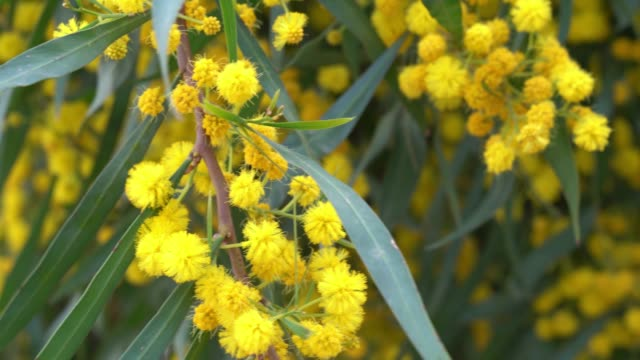 UHD Video Of Mimosa Flowers In Wind video