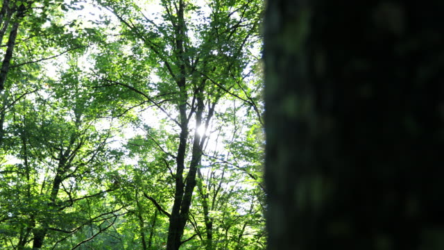 4K Video of Morning Sun in Boreal Forest, Dolly Stabilized Shot