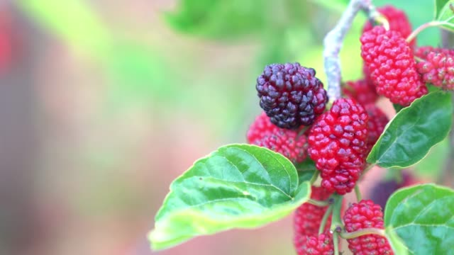 UHD Video Of Mulberry Tree video