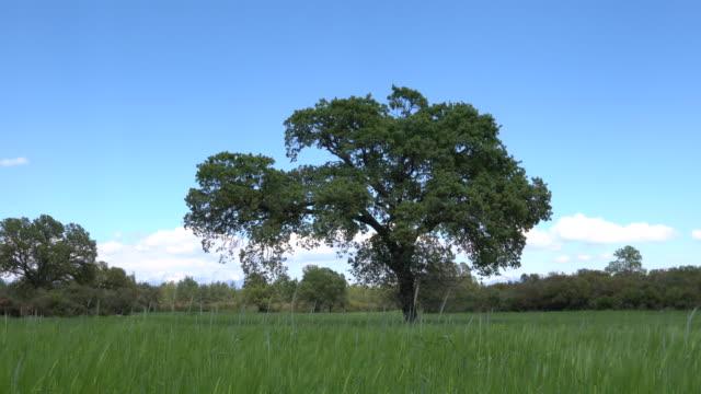 UHD Video Of Oak Tree In Wind
